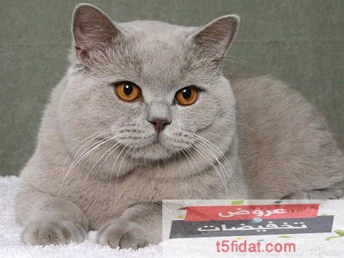 سعار القطط